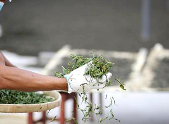 千年以上続く伝統製法の快痩茶とのブレンド。